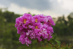 Lagerstroemia indica or Indian lilac Royalty Free Stock Photography