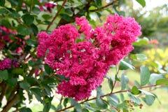 Lagerstroemia indica l LYTHRACEAE красивейший пинк цветка Стоковые Изображения