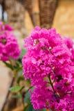 Lagerstroemia indica l LYTHRACEAE красивейший пинк цветка Стоковая Фотография RF