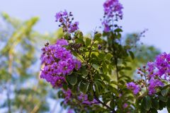 Free Lagerstroemia Indica Purple Flowers Close-up Stock Photography - 130207792