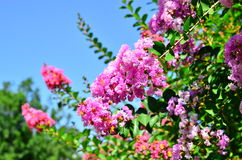 Lagerstroemia indica Royalty Free Stock Photo