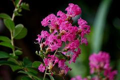 Lagerstroemia Indica Stock Photos
