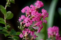 Lagerstroemia Indica. Uses fresh boiled flowers to eat the whole residue. Bleeding after birth Dried flower powder Mixed vinegar, pox,.Fresh or dried flowers Stock Images