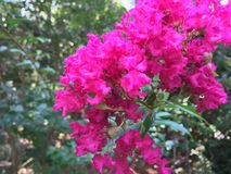 Bright Pink Crape Myrtle Blossoms stock photography