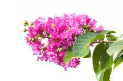 Lagerstroemia isolated on white background. Lagerstroemia, Archeriana F.M.bailey isolated on white background Stock Images