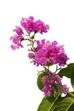 Lagerstroemia isolated on white background. Lagerstroemia, Archeriana F.M.bailey isolated on white background Royalty Free Stock Photos