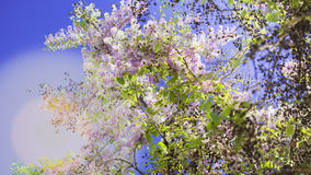 Lagerstroemia known as crape myrtle. So beautiful on sky background stock photos