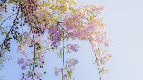 Lagerstroemia known as crape myrtle. So beautiful on sky background royalty free stock photos