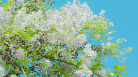 Lagerstroemia known as crape myrtle. So beautiful on sky background stock images