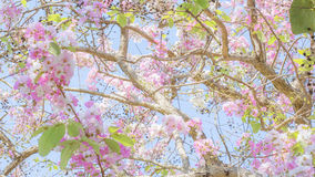 Lagerstroemia known as crape myrtle. So beautiful on sky background royalty free stock photo