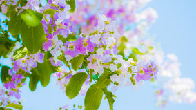 Lagerstroemia known as crape myrtle. So beautiful on sky background royalty free stock photography