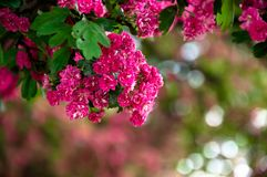 Lagerstroemia L., crape myrtle pink petals. Floral background of pure pink flowers on the branches with green leaves royalty free stock photo