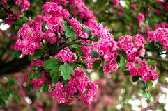 Lagerstroemia L., crape myrtle pink petals. Floral background of pure pink flowers on the branches with green leaves stock photo