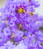 Lagerstroemia porpora del fiore dell'albero di San Bartolomeo con polline giallo fotografia stock libera da diritti
