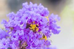 Lagerstroemia porpora del fiore dell'albero di San Bartolomeo con polline giallo immagini stock libere da diritti