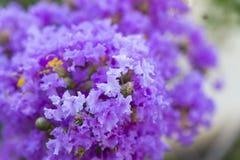 Lagerstroemia porpora del fiore dell'albero di San Bartolomeo con polline giallo immagine stock