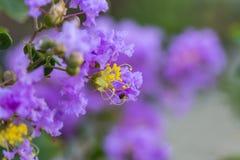 Lagerstroemia porpora del fiore dell'albero di San Bartolomeo con polline giallo fotografie stock