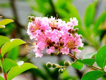 Lagerstroemia royalty free stock images