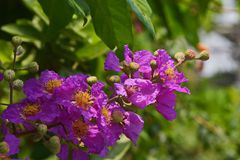 Lagerstroemia Speciosa – beautiful pink flower royalty free stock photography