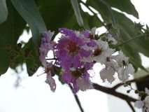 Lagerstroemia speciosa. Colorful flowers blooming in South East Asia in summer royalty free stock images