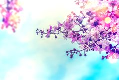 Lagerstroemia speciosa flower with blue sky background royalty free stock photo