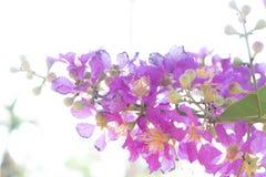 Lagerstroemia speciosa flower Royalty Free Stock Image