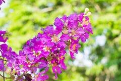 Lagerstroemia speciosa flower Stock Photos