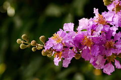 Lagerstroemia speciosa Royalty Free Stock Image