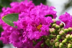Lagerstroemia speciosa or jarul flower Stock Photo