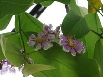 Lagerstroemia speciosa. Colorful flowers blooming in South East Asia in summer royalty free stock photography
