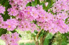Free Lagerstroemia Speciosa Or Queen`s Flower Tree In Outdoor Nature Stock Image - 115853991