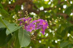 Lagerstroemia speciosa Pers purple flowers are blooming  on the tree. stock photography