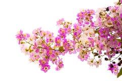 Lagerstroemia speciosa, Pride of India, Queen's flower Stock Photos