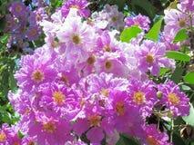Lagerstroemia speciosa. Sun shining on beautiful blossoming Lagerstroemia speciosa flower Royalty Free Stock Image