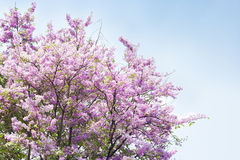 Lagerstroemia speciosa. Sun shining on beautiful blossoming Lagerstroemia speciosa flower Stock Image
