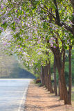 Lagerstroemia speciosa or tabak tree and road in garden Thailand Stock Images