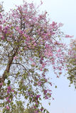 Lagerstroemia speciosa or tabak tree in Thailand,Perennial plant Stock Photo