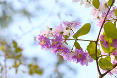 Lagerstroemia speciosa or tabak tree in Thailand,Perennial plant Royalty Free Stock Photo