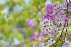 Lagerstroemia speciosa or tabak tree in Thailand,Perennial plant Royalty Free Stock Photography
