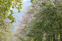 Lagerstroemia speciosa or tabak tree in Thailand,Perennial plant Stock Photography