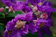 Lagerstroemia speciosa. Violet Lagerstroemia speciosa and the yellow carpel in bokeh royalty free stock photos