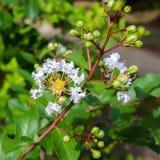 Lagerstroemia Speciosa White Flower. Stock Image
