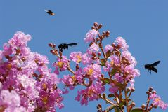 Lagerstroemia and xylocopes. Lagerstroemia indica and carpenters bees Stock Photos