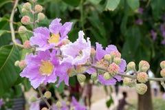 Lagerstroemiafloribunda of Thaise rouwbandmirte, boom met purple Stock Foto's