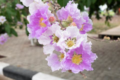 Lagerstroemiafloribunda of Thaise rouwbandmirte, boom met purple Royalty-vrije Stock Foto's