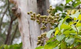 Lagerstroemiafloribundastålar kärnar ur på trädet royaltyfri fotografi