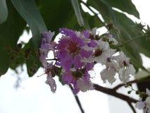 Lagerstroemiaspeciosa Royaltyfria Bilder