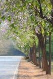 Lagerstroemiaspeciosa of tabak boom en weg in tuin Thailand Stock Afbeeldingen