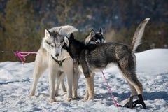 Laget för slädehunden väntar på lopp, Yakutia arkivbild