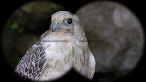 Laggar Falcon Bird Falco jugger Seen through Binoculars. Seen through Binoculars. Bird Watching at Wildlife Safari. Shot with a Sony RX10 IV fps 59,94 FHD stock video